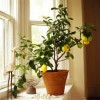 Plant a miniature lemon tree in a terracotta pot an place near a window.